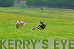 Boomtown Paddy(white coller) and Lorraines Flyer(Red collar) race in the semi final stages of the coursing held last week in Abbeyfeale.