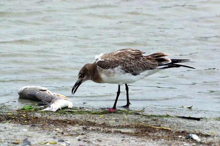 Juvenile laughing gull eating redfish carcass