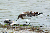 Juvenile laughing gull eating redfish carcass