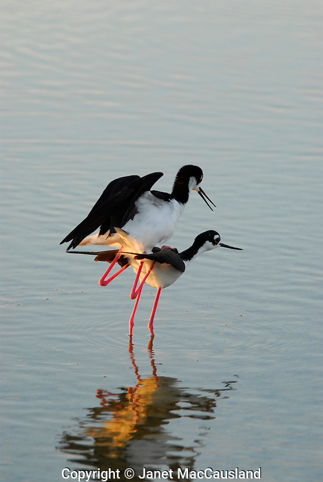 A male Black Necked Stilt mounts a female, who tilts her body downward as an invitation to mate.