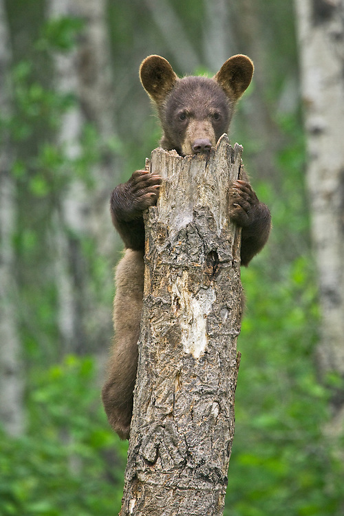 Cinnamon Black Bear cub clinging to the top of a snag