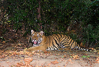 684080056 a juvenile wildlife rescue siberian tiger panthera tigris altaicia rests along a tree lined walk near his enclosure at a wildlife rescue facility - species is highly endangered in the wild - mungar