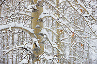 Snow on the branches of balsam poplar trees, Wiseman, Alaska.