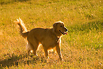 Golden Retriever running in a field
