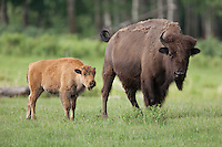 Bison with calf in a grassy field