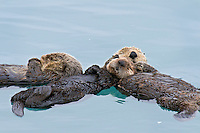 Alaskan or Northern Sea Otter (Enhydra lutris) sleeping.  Mother sea otter (on right) is holding a several month old pup while they rest.  Another sea otter is sleeping in the same area and has bumped up against them.  They are all part of a raft of otters (a dozen or more) resting in the same area.  Sea otters often gather in groups (rafts) in sheltered coastal areas.  Alaska.