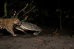 Jaguar (Panthera onca) female dragging predated Green Sea Turtle (Chelonia mydas) from beach into rainforest at night, Coastal Jaguar Conservation Project, Tortuguero National Park, Costa Rica