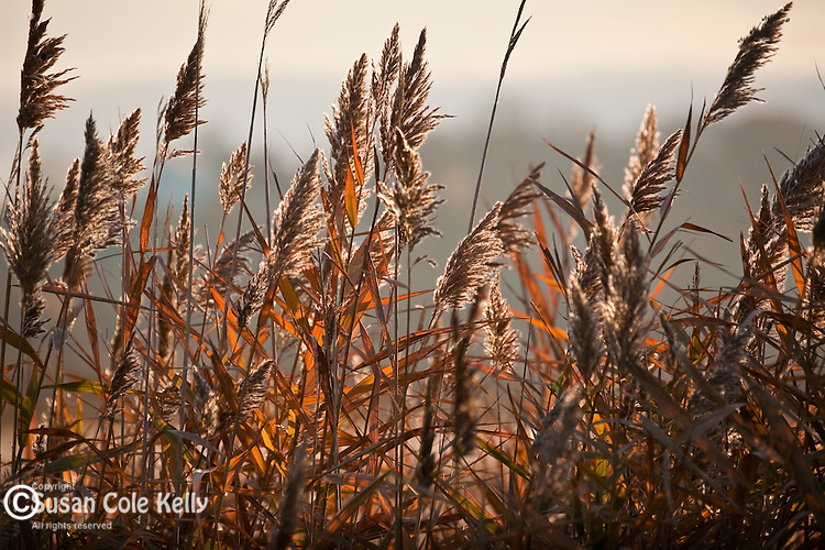 Common reeds (Phragmites australis) in Belle Isle Marsh, East Boston, MA, USA