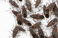 Box Elder Bug; Boisea trivittatus; on house where they hibernated; PA, Philadelphia