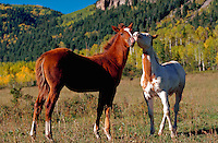 Young horses in mountain meadow