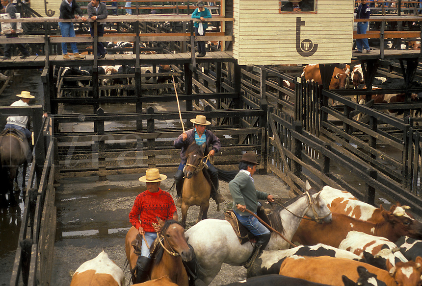 AJ2115, ranchers, Chile, Temuco, Three local Chilean cowboys (huasos) on horseback rounding up cattle in corral for auction at cattle market in Temuco in the South-Central Region (Land of Lakes and Volcanoes) in Chile.