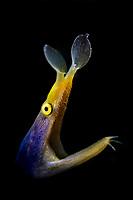 Ribbon eel (Rhinomuraena quaesita) in the Lembeh Strait