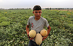 Palestinian farmers collect melons from their field during harvest season in a border area east Rafah in the southern Gaza Strip, June 12, 2019. Photo by Ashraf Amra