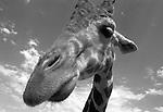 Giraffe tallest land animal artiodactyla giraffidae giraffa  camelopardalis ruminant horns ossicones camouflage body, Giraffe camelopardalis, Fine Art Photography by Ron Bennett, Fine Art, Fine Art photography, Art Photography, Copyright RonBennettPhotography.com © Fine Art Photography by Ron Bennett, Fine Art, Fine Art photography, Art Photography, Copyright RonBennettPhotography.com ©