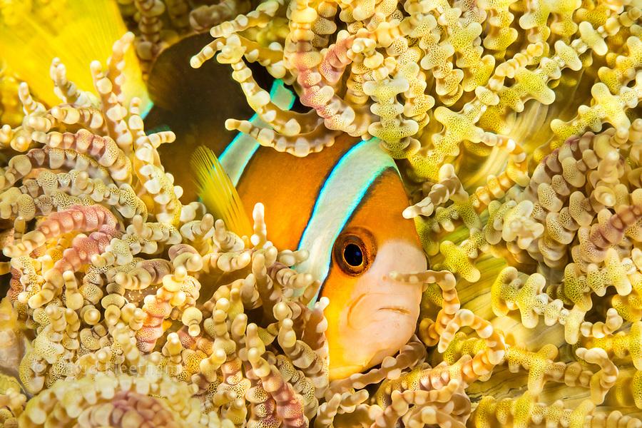 Clark's anemonefish, Amphiprion clarkii, in beaded sea anemone, Heteractis aurora, Philippines.