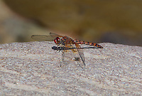 389190016 a wild male red rock skimmer paltothemis lineatipes perches on a rock in west turkey creek coronado national forest graham county arizona