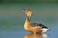 Fulvous Whistling-Duck, Dendrocygna bicolor, adult calling, Welder Wildlife Refuge, Sinton, Texas, USA