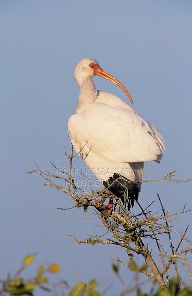 White Ibis, Eudocimus albus, adult resting, Ding Darling National Wildlife Refuge, Sanibel Island, Florida, USA
