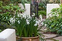 Paperwhite narcissus, daffodils flowering in pot on patio, McAvoy Garden - California summer-dry garden;