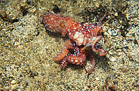 lq9081. Starry Night octopus (Octopus luteus) captures fish at night. Indonesia, tropical Indo-Pacific oceans. Photo Copyright © Brandon Cole. All rights reserved worldwide.  www.brandoncole.com.This photo is NOT free. It is NOT in the public domain. This photo is a Copyrighted Work, registered with the US Copyright Office. .Rights to reproduction of photograph granted only upon payment in full of agreed upon licensing fee. Any use of this photo prior to such payment is an infringement of copyright and punishable by fines up to  $150,000 USD.