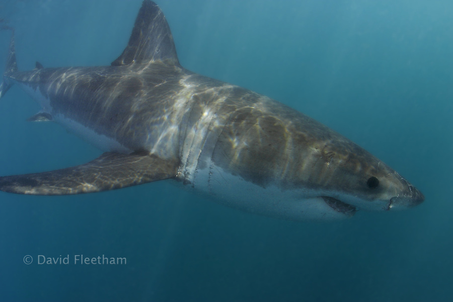 This portrait of a Great White Shark, Carcharodon carcharias, was photographed just below the surface off Gaansbaii, in South Africa.