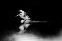 Pelican No. 3 ,  35mm image on Ilford Delta 100 film
