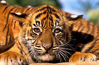 Sumatran tiger, Panthera tigris sumatrae, cub, critically endangered species, Sumatra, Sunda Islands, Indonesia