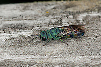 Goldwespe, Chrysis equestris, gold wasp, Goldwespen, Chrysididae, cuckoo wasp, cuckoo wasps