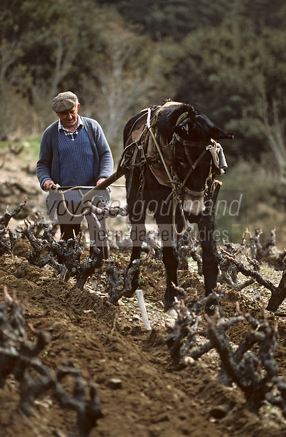 Europe/France/Languedoc-Roussillon/66/Pyrénées-Orientales/Banyuls-sur-Mer : Travail de la vigne avec un cheval de trait dans le vignoble [Non destiné à un usage publicitaire - Not intended for an advertising use]<br /> PHOTO D'ARCHIVES // ARCHIVAL IMAGES<br /> FRANCE 1990