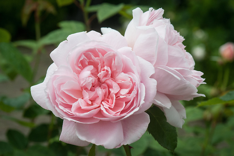 Rosa Kathryn Morley ('AusVariety' or 'AusClub'), late June. From David Austin, 1990, named after the daughter of Eric Morley, the Variety of Great Britain.