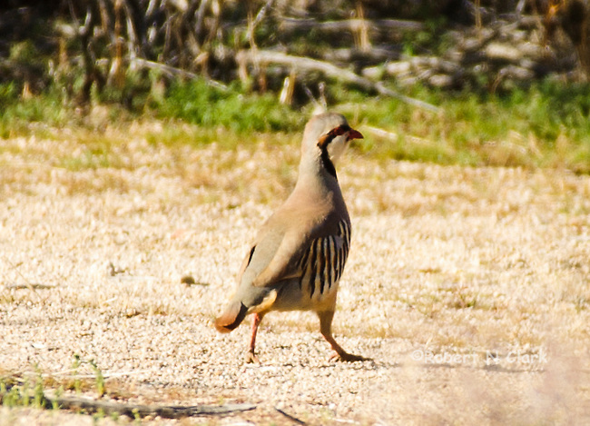 Wild Chukar in the Mojave Desert of California