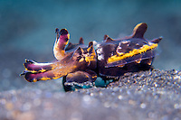 Flamboyant Cuttlefish (Metasepia pfefferi) walking over the sand  in Lembeh Strait / Indonesia
