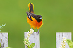 Male Baltimore oriole being blown off of his perch on a backyard fence.
