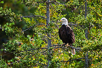 Bald Eagle (Haliaeetus leucocephalus) in spruce tree, Nova Scotia, Canada.