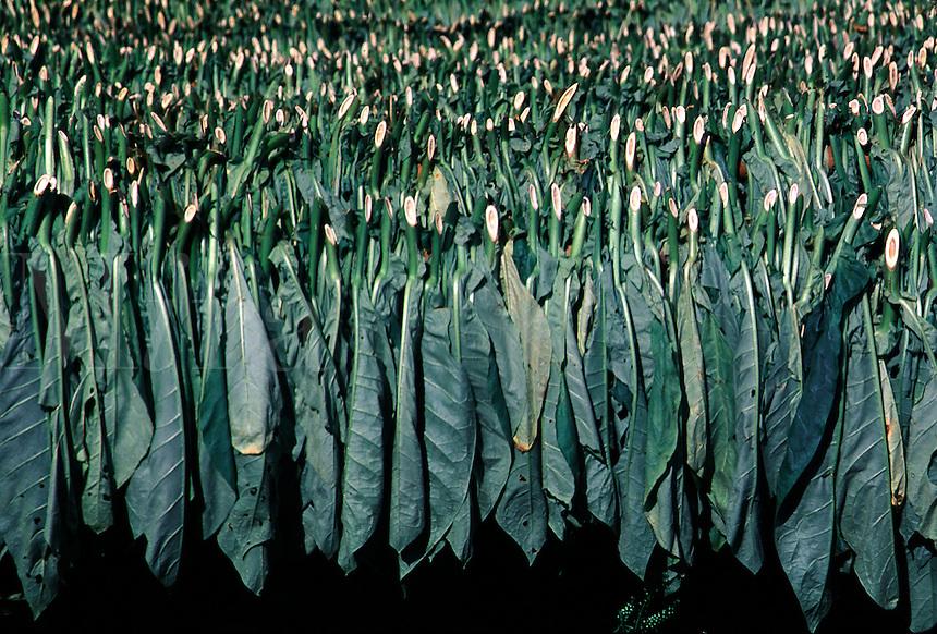 Tobacco leaves. Nicotiana tabacum. Tobacco. Pinar del Rio Cuba Vinales Vally.