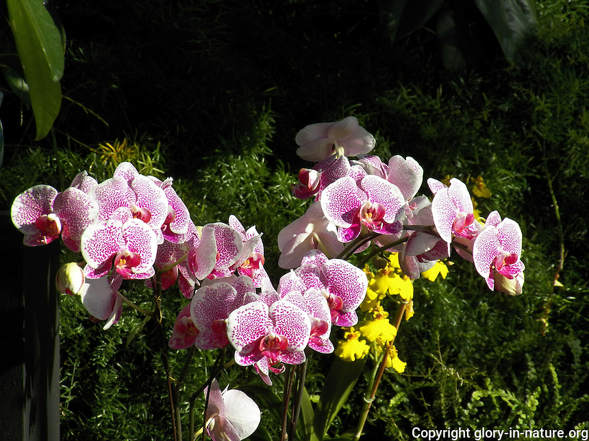 Mystery and Romance orchid display at the Muttart Conservatory in Edmonton Alberta.