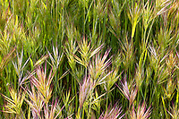 Grass in the Antelope Valley near Lancaster, California