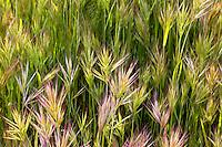 Grass in the Antelope Valley near Lancaster, California