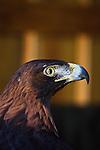 Eagle at the Carolina Raptor Center