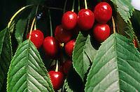 Vogel-Kirsche, Vogelkirsche, Süß-Kirsche, Süßkirsche, Kirsche, Früchte, Prunus avium, Gean, Mazzard, Cherry