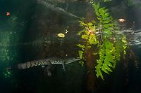 Morelet's crocodile, Central American crocodile, Mexican crocodile, or Belize, Caribbean, Atlantic crocodile, Crocodylus moreletii, in cenote, or freshwater spring, with reflection on underside of water surface, near Tulum, Yucatan Peninsula, Mexico, Caribbean, Atlantic