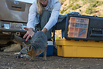 Santa Catalina Island Fox (Urocyon littoralis catalinae) biologist, Julie King, releasing fox after vaccination and health check up, Santa Catalina Island, Channel Islands, California
