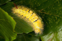 Buchen-Streckfuss, Buchen-Streckfuß, Buchenstreckfuß, Streckfuß, Rotschwanz, Buchenrotschwanz, Raupe frisst an Buchenblättern, Calliteara pudibunda, Dasychira pudibunda, Olene pudibunda, Elkneria pudibunda, Trägspinner, Lymantriidae, pale tussock, red-tail moth