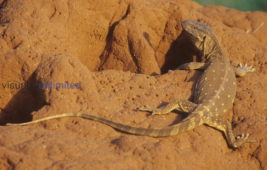 Savannah Monitor (Varanus exanthematicus) at termite mound, Kenya.
