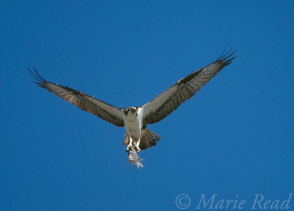 Osprey (Pandion haliaetus) in flight carrying a fish, Sanibel Island, Florida, USA<br /> Slide # B28-21