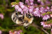 Helle Erdhummel, Weißschwanz-Erdhummel, Weißschwanz Erdhummel, Bombus lucorum, Blütenbestäubung, Nektarsuche, Blütenbesuch an Heidekraut, Besenheide, Calluna vulgaris, white-tailed bumble bee