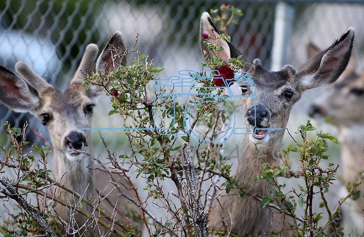 A heard of deer feed across the street from the Legislative Building in Carson City, Nev., on Thursday, May 28, 2015. <br /> Photo by Cathleen Allison
