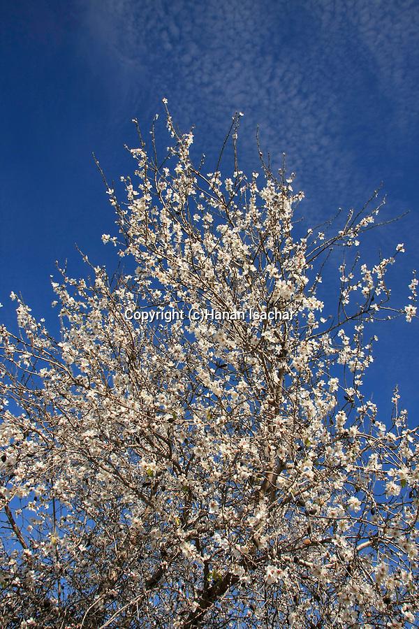 Israel, Shephelah region. Almond tree in Park Britannia.