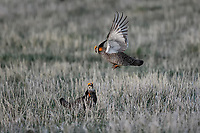 Greater Prairie Chickens on lek in Nebraska.