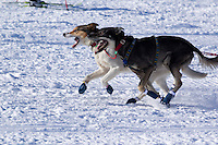 Sunday, March 4, 2012  Jodi Bailey Dogs run at the Retart of Iditarod 2012 in Willow, Alaska.